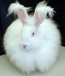 250px-Fluffy_white_bunny_rabbit.jpg