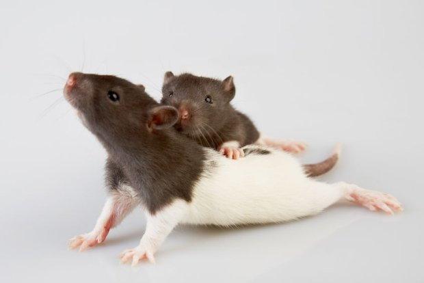 szczur-Mój najleprzy przyjaciel