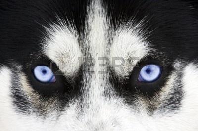 12376219-zamknij-sia--na-niebieskich-oczach-psa.jpg