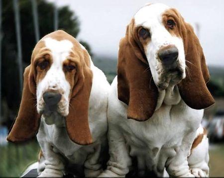 basset-hounds.jpg