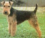 terrier walijski