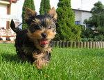 York Terrier