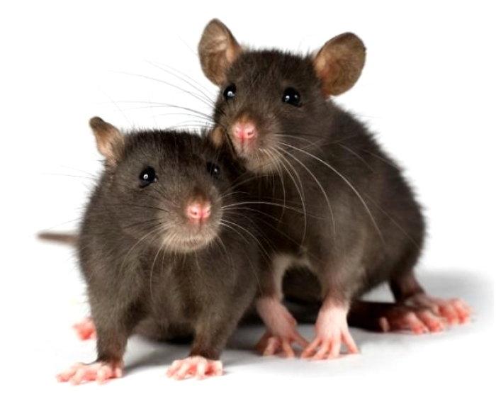 Posiadacze i miłośnicy szczurów