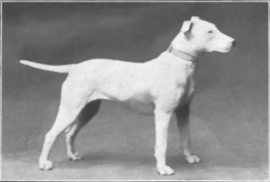 Bull_Terrier_from_1915.JPG