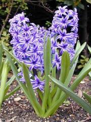 hiacynt-hyacinthus_3201_thumb.jpg