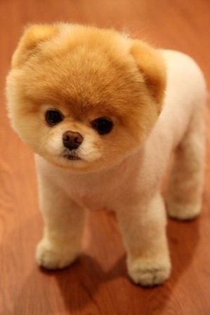 Wspaniały Jakie są rasy psów , które są małe i nie będą rosnąć? - Zapytaj XA72