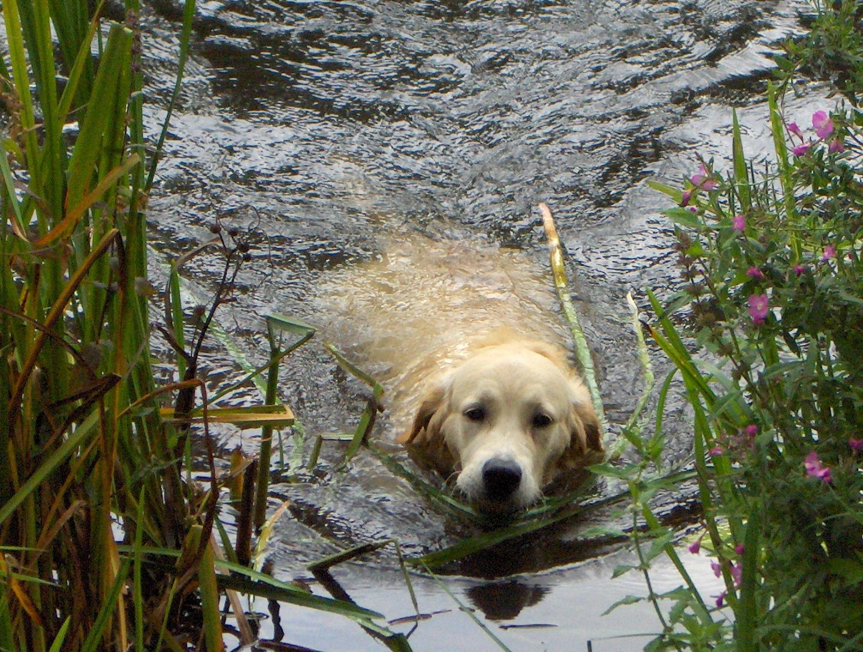 Golden_Retriever_in_the_water.jpg