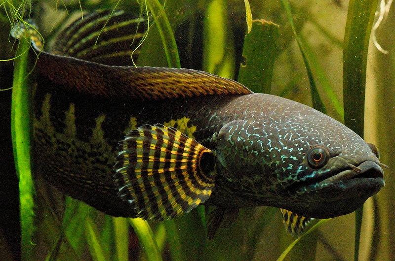 Miłośnicy drapieżnych ryb akwariowych