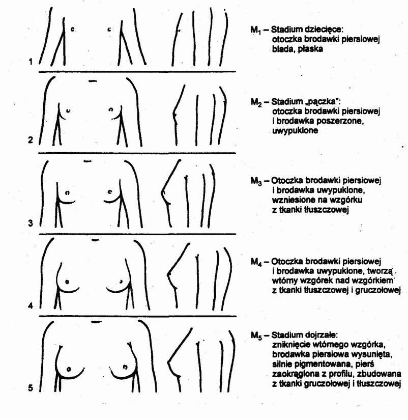 Stadia-rozwoju-piersi-u-dziewcz%C4%85t-skala-Tannera.jpg