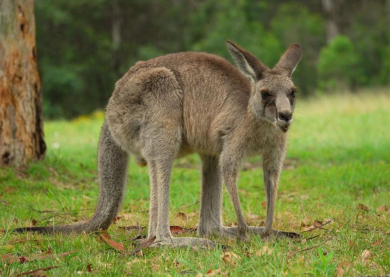 800px-Kangaroo_Australia_01_11_2008_-_retouch2.jpg