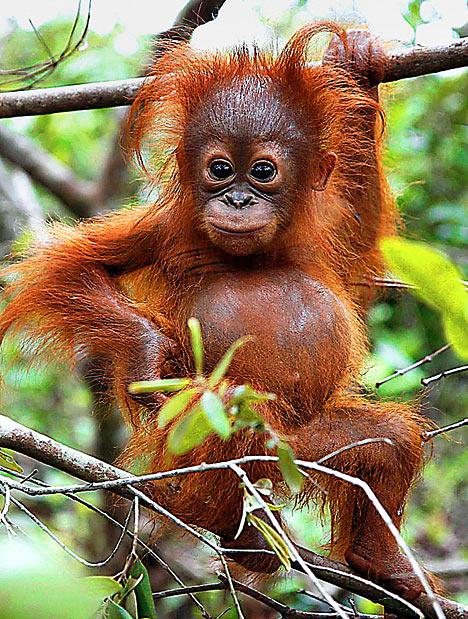 Orangutan2_468x619.jpg