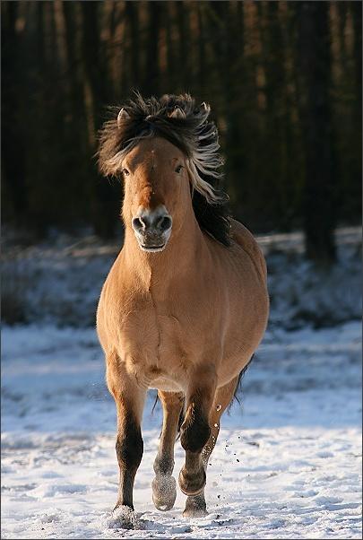 Fani koni Fiordów !!