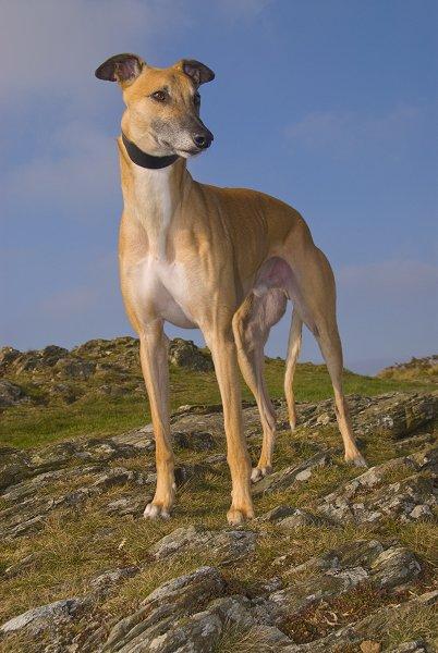 2008-12feb-sandy-greyhound-0018833%20(2).jpg