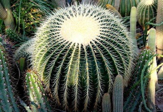 Informacje Na Temat Kaktusa Fotel Teściowej Zapytajonet