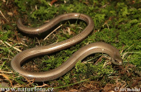 slow-worm-30865.jpg