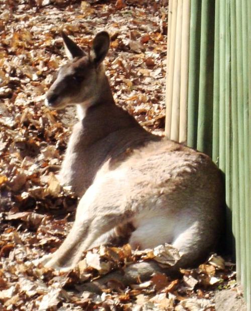kangur-szary-nowe-zoo-poznan.jpg