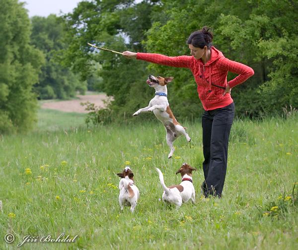 jack-russell-terrier-100404.jpg