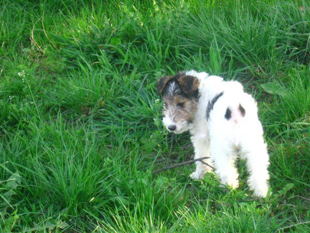 Fox_Terrier_Wire_Puppy.jpg