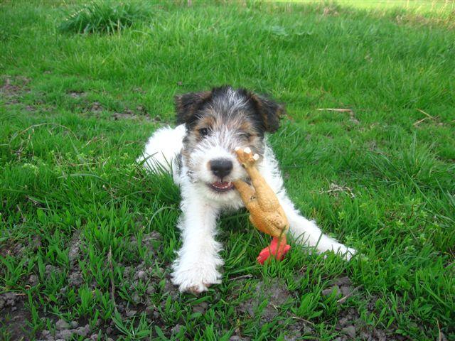 Fox_Terrier_Wire_Puppy_2.jpg