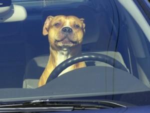 pies-w-samochodzie-300x226.jpg