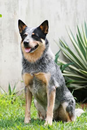 Lubię australijskie psy pasterskie.