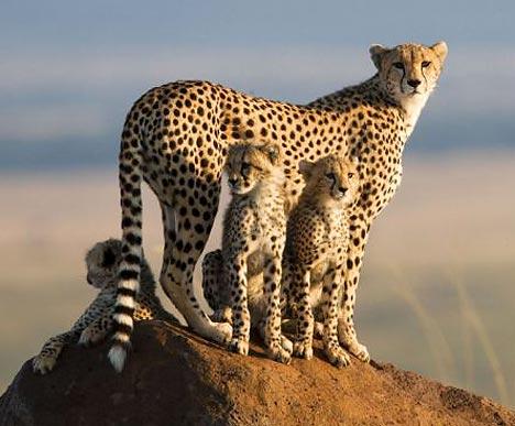 cheetahsmos_468x387.jpg