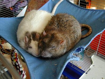 rats35.jpg