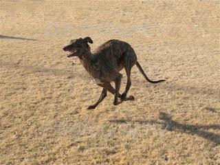 greyhound-running.jpg