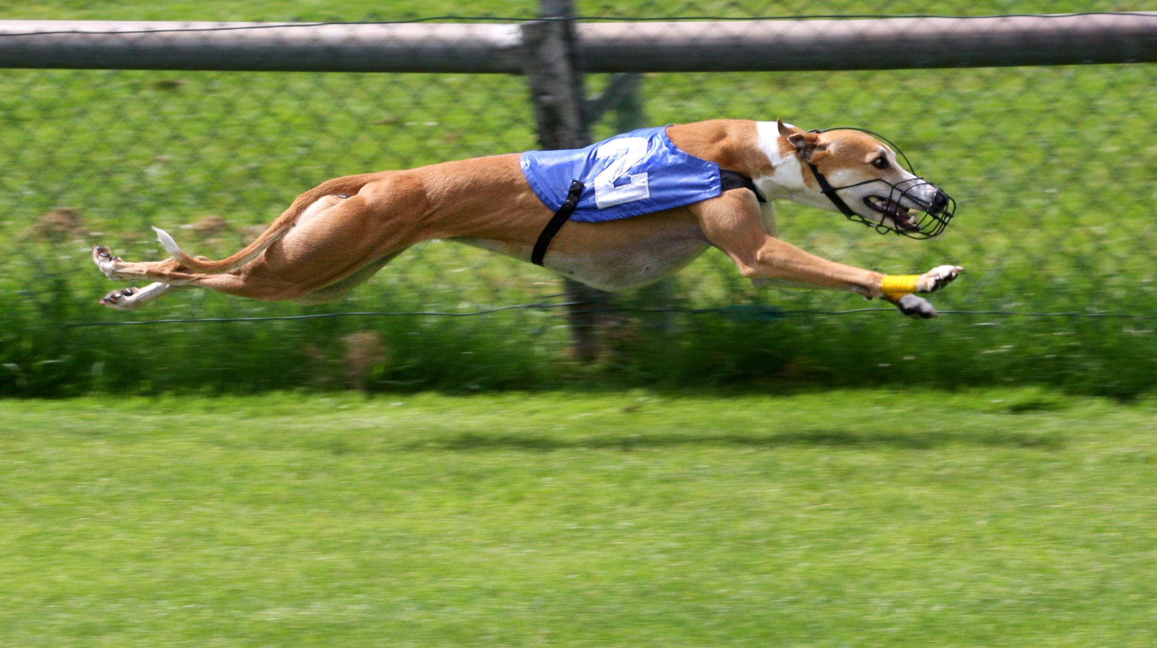 Greyhound_Racing_2_amk.jpg