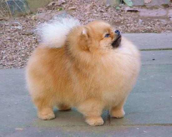 Nowość Co wiecie na temat psy rasy szpic miniaturowy pomeranian? Naj SR85