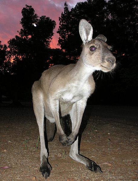 457px-Western_Grey_Kangaroo_SMC_2006.JPG