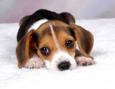 Kochamy Beagle