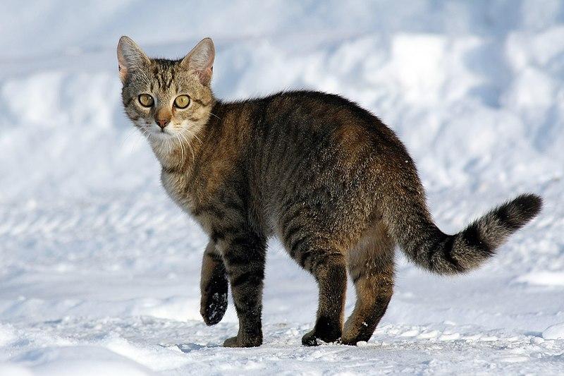 800px-Felis_catus-cat_on_snow.jpg