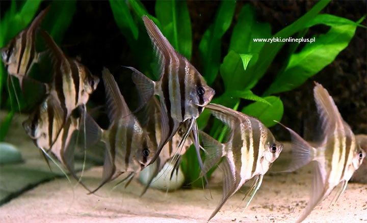 Ryby z Ameryki Południowej :)