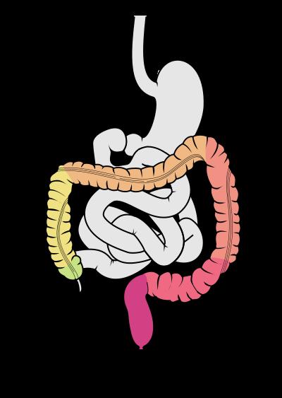 400px-Tractus_intestinalis_intestinum_crassum.svg.png