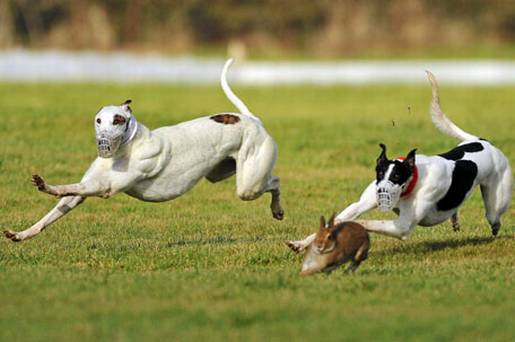 0302_coursing_sports