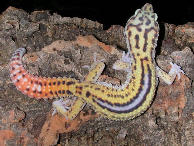 Reverse+Stripe+Leopard+Gecko.JPG