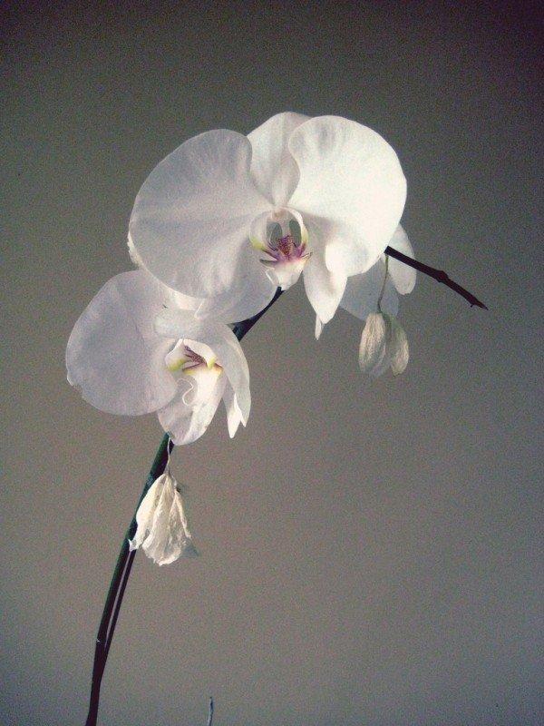 white-karuna-orchid.jpg