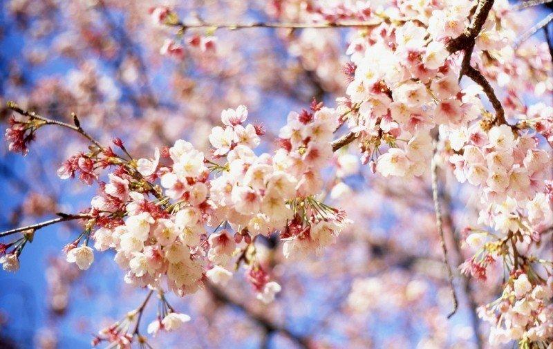 cherry-blossom-4.jpg
