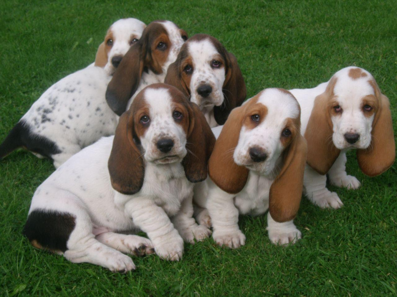 beutiful-marked-basset-hound-pups-5246d03883714.JPG