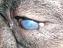 220px-Canine_entropion.JPG
