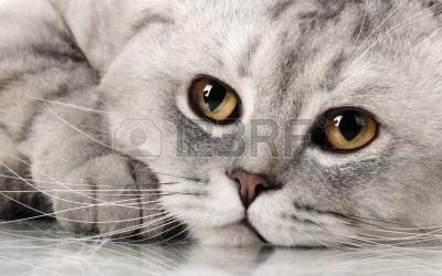 14622995-puszysty-szary-piekny-kot-dorosly-rasy-szkocki-krotnie-bardzo-bliska-portret.jpg