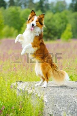 14156736-border-collie-cane-in-piedi-sullo-sfondo-fiori.jpg