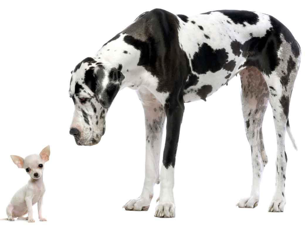 black-and-white-great-dane-dog-wallpaper.jpg