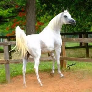 Konie Arabskie <3 <3