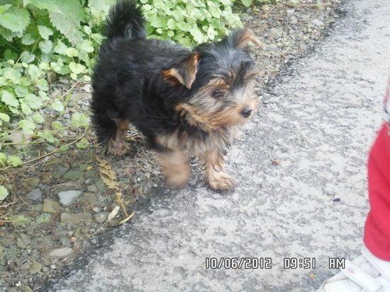 Bardzo dobra Mój yorkshire terrier (york) ma 3 miesiące ,a waży 1,4kg.Czy to WO82