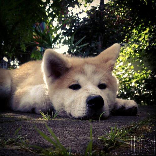 akita-inu-cute-dog-filme-Favim.com-633504_large.jpg