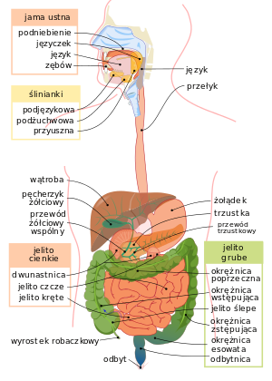 300px-Digestive_system_diagram_pl.svg.png