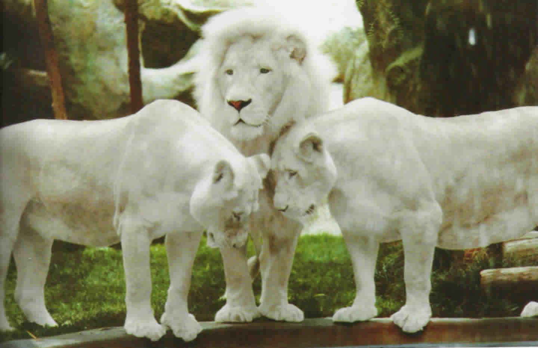 Stado lwów zapytaj