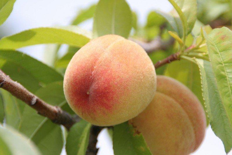 yummy-peach.jpg